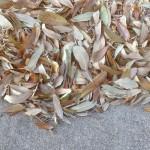 live oak leaf drop